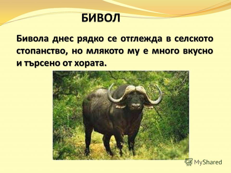 Бивола днес рядко се отглежда в селското стопанство, но млякото му е много вкусно и търсено от хората.