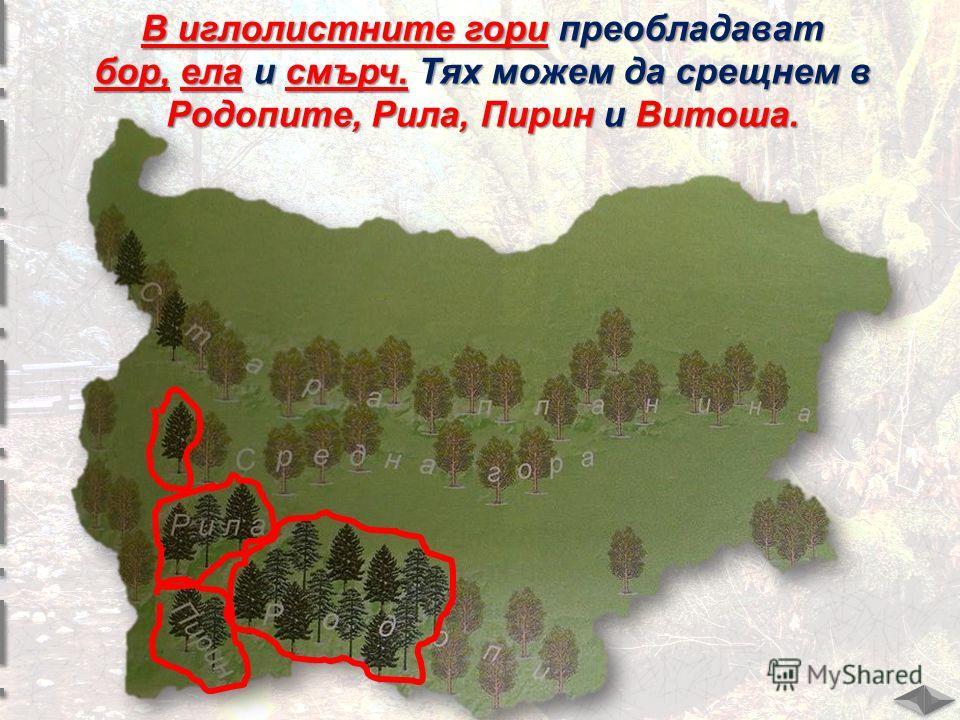 В иглолистните гори преобладават бор, ела и смърч. Тях можем да срещнем в Родопите, Рила, Пирин и Витоша.