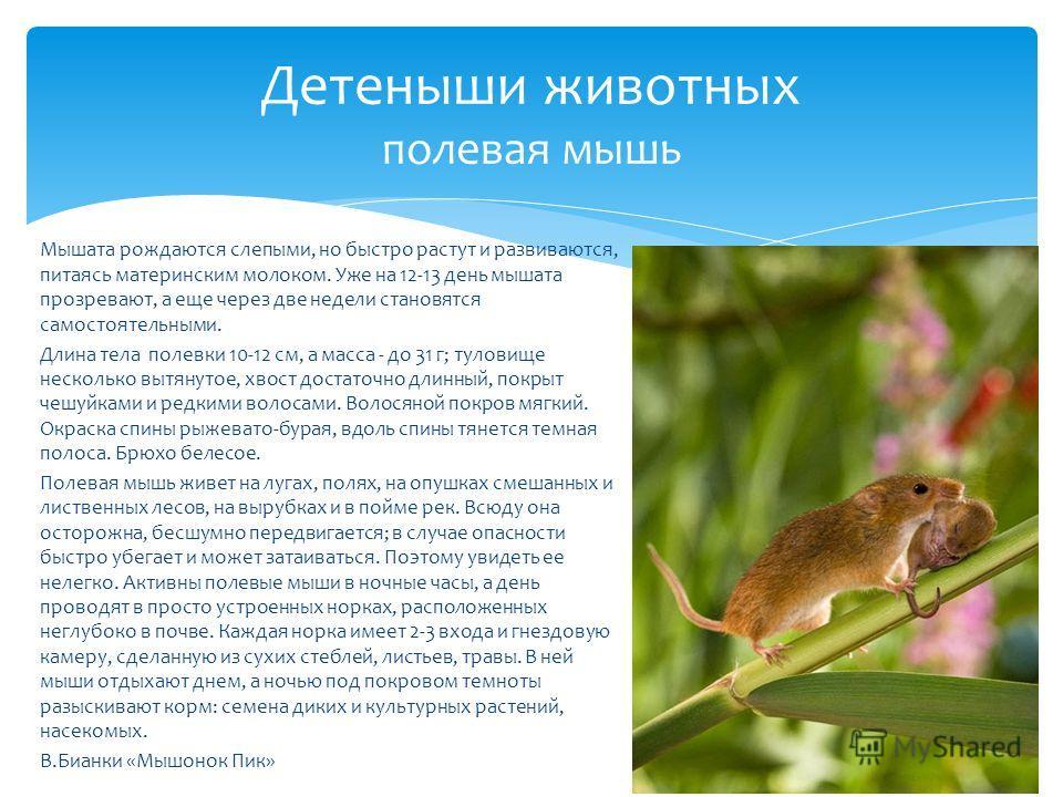 Мышата рождаются слепыми, но быстро растут и развиваются, питаясь материнским молоком. Уже на 12-13 день мышата прозревают, а еще через две недели становятся самостоятельными. Длина тела полевки 10-12 см, а масса - до 31 г; туловище несколько вытянут