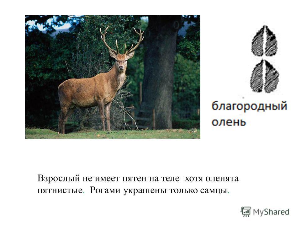 Лесной великан. Кормится растительной пищей. Рога есть только у самцов.