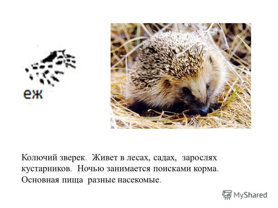 Взрослый не имеет пятен на теле хотя оленята пятнистые. Рогами украшены только самцы.
