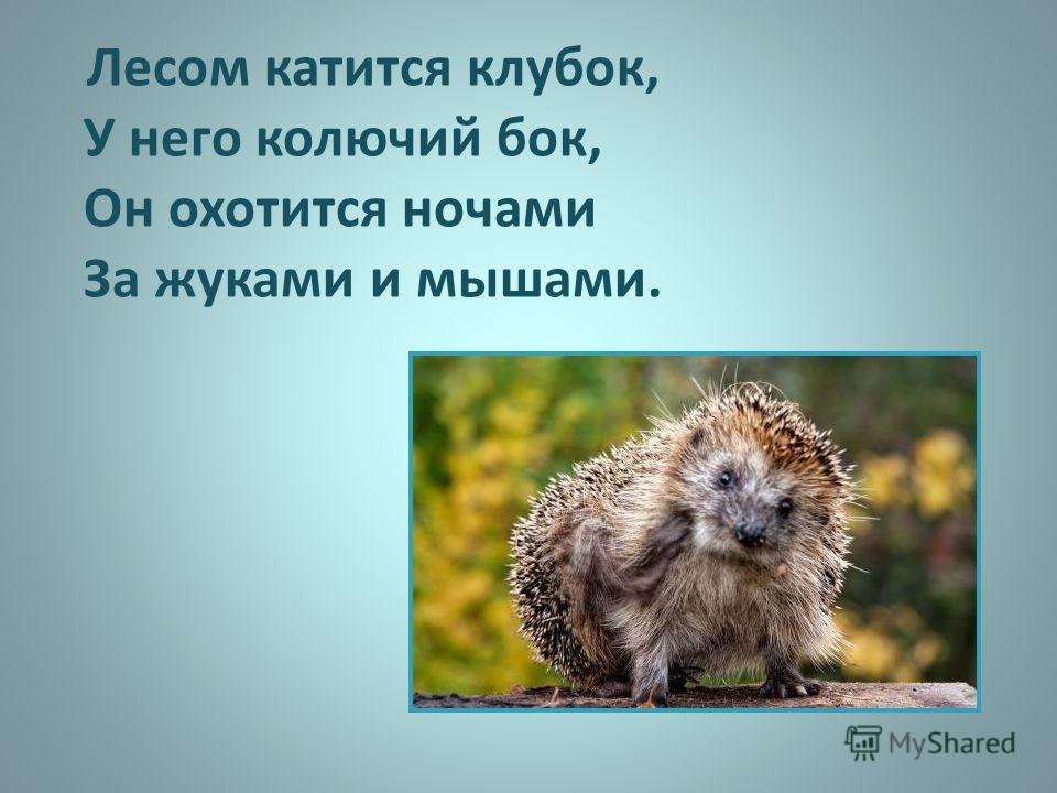 Лесом катится клубок, У него колючий бок, Он охотится ночами За жуками и мышами.