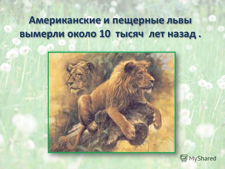 Американские и пещерные львы вымерли около 10 тысяч лет назад. Американские и пещерные львы вымерли около 10 тысяч лет назад.