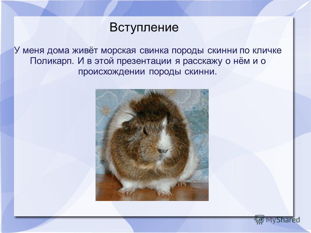 У меня дома живёт морская свинка породы скинни по кличке Поликарп. И в этой презентации я расскажу о нём и о происхождении породы скинни. Вступление