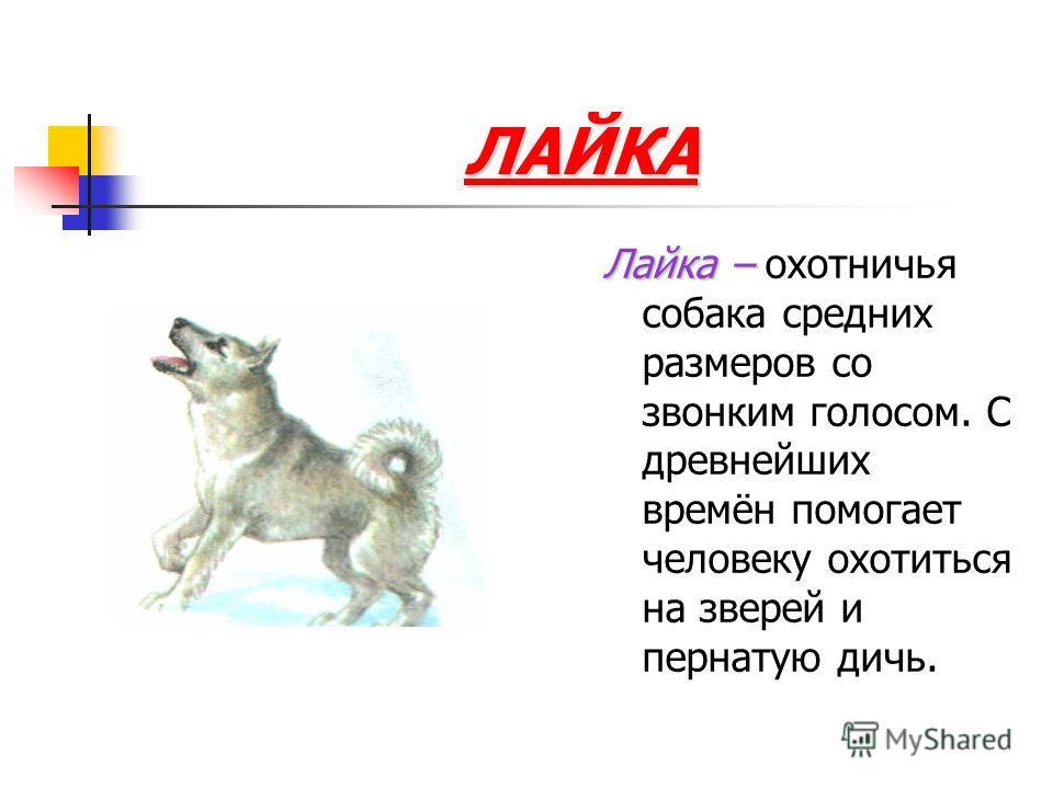 ЛАЙКА Лайка – Лайка – охотничья собака средних размеров со звонким голосом. С древнейших времён помогает человеку охотиться на зверей и пернатую дичь.