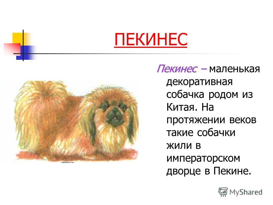 ПЕКИНЕС Пекинес – Пекинес – маленькая декоративная собачка родом из Китая. На протяжении веков такие собачки жили в императорском дворце в Пекине.