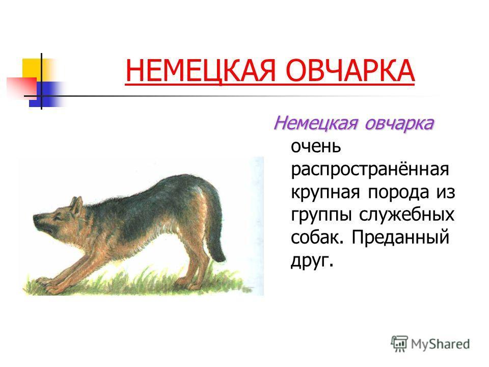 НЕМЕЦКАЯ ОВЧАРКА Немецкая овчарка Немецкая овчарка очень распространённая крупная порода из группы служебных собак. Преданный друг.