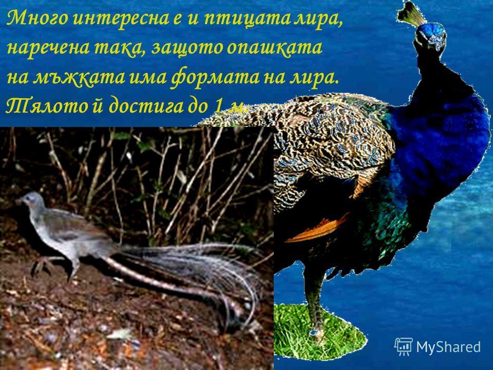 Много интересна е и птицата лира, наречена така, защото опашката на мъжката има формата на лира. Тялото й достига до 1 м.