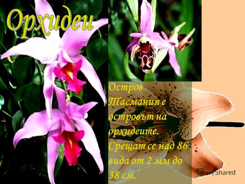 Остров Тасмания е островът на орхидеите. Срещат се над 86 вида от 2 мм до 38 см.