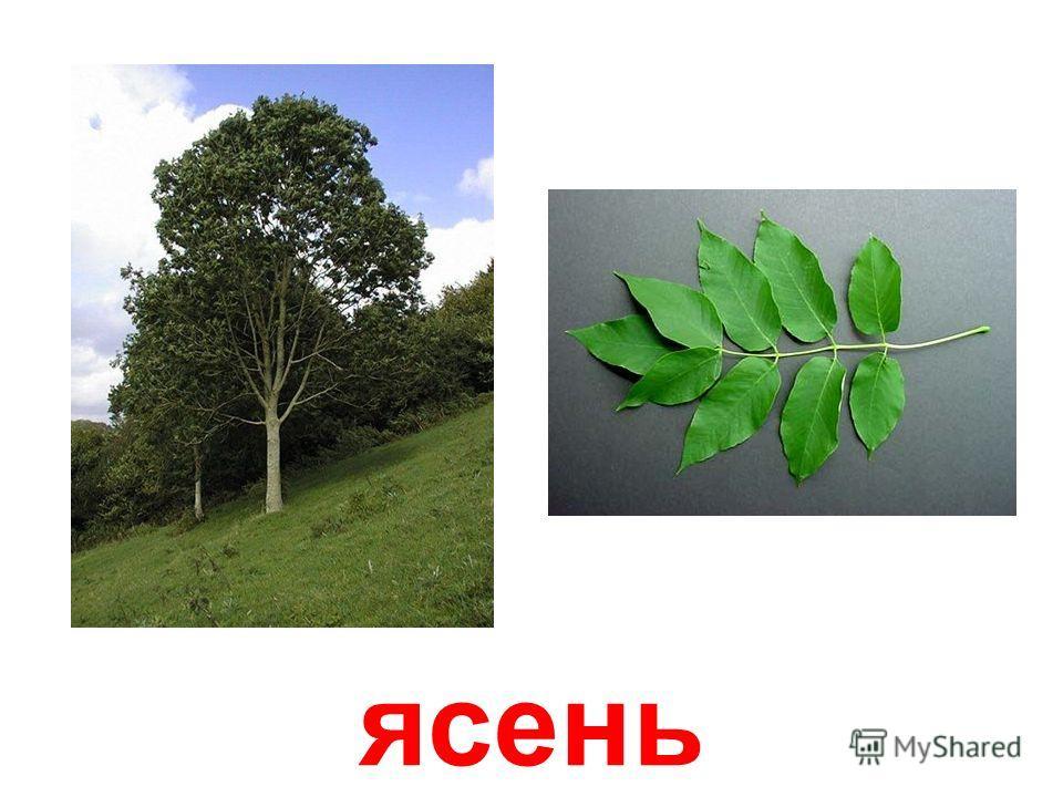 лещина ( лесной орех )