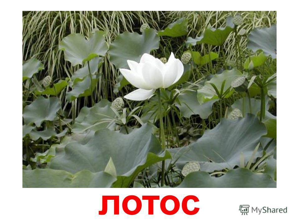 водяные лилии (кувшинки)