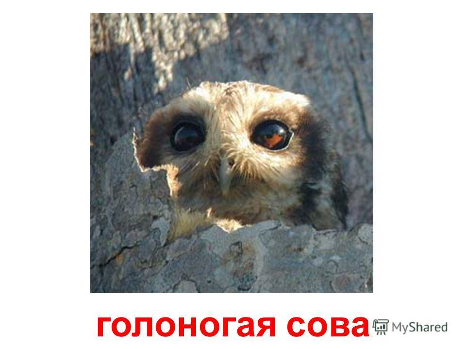 кроличий сыч (пещерная сова)