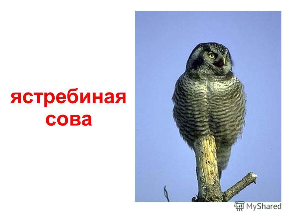 голоногая сова