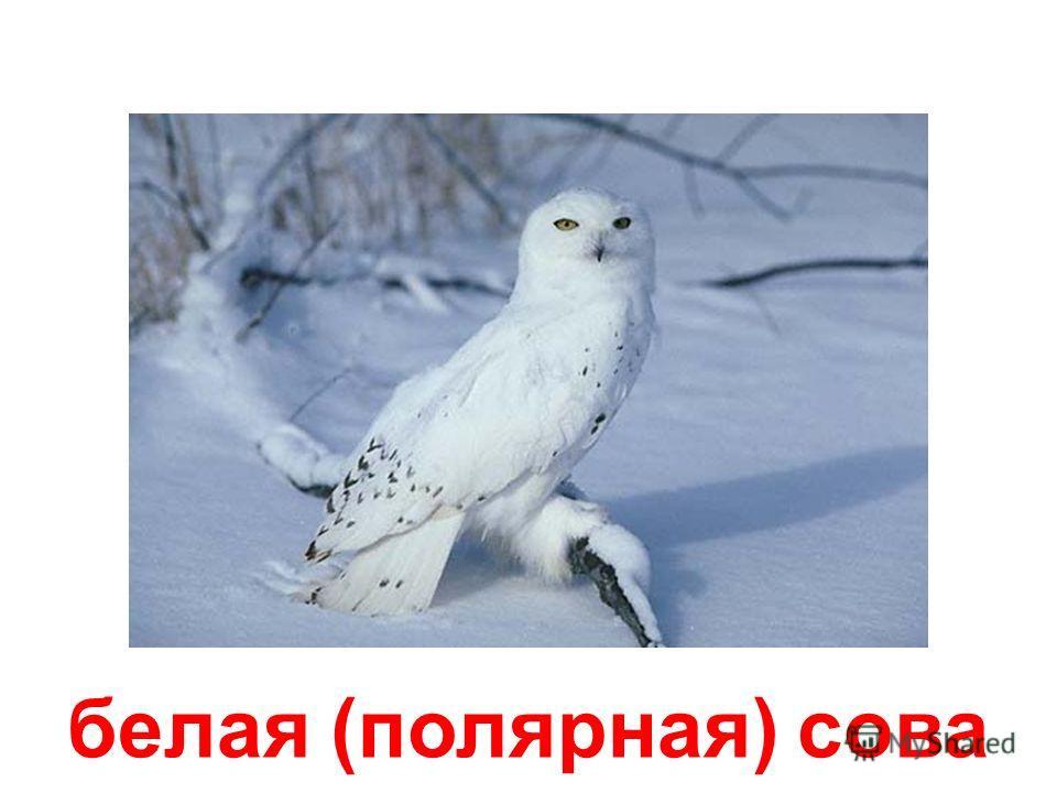 амбарная сова (сипуха)