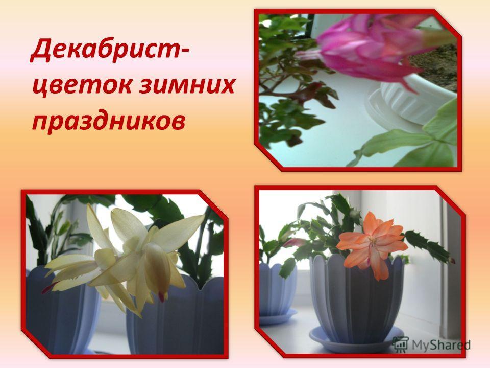 Декабрист- цветок зимних праздников