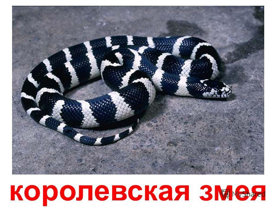 чёрно-белая кобра