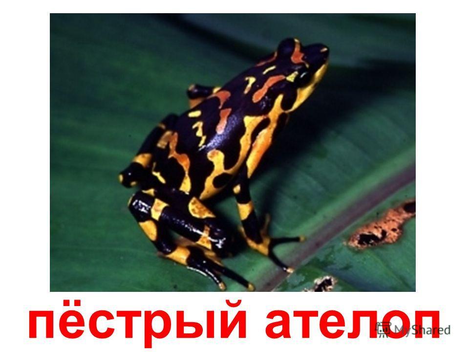 бесхвостые земноводные