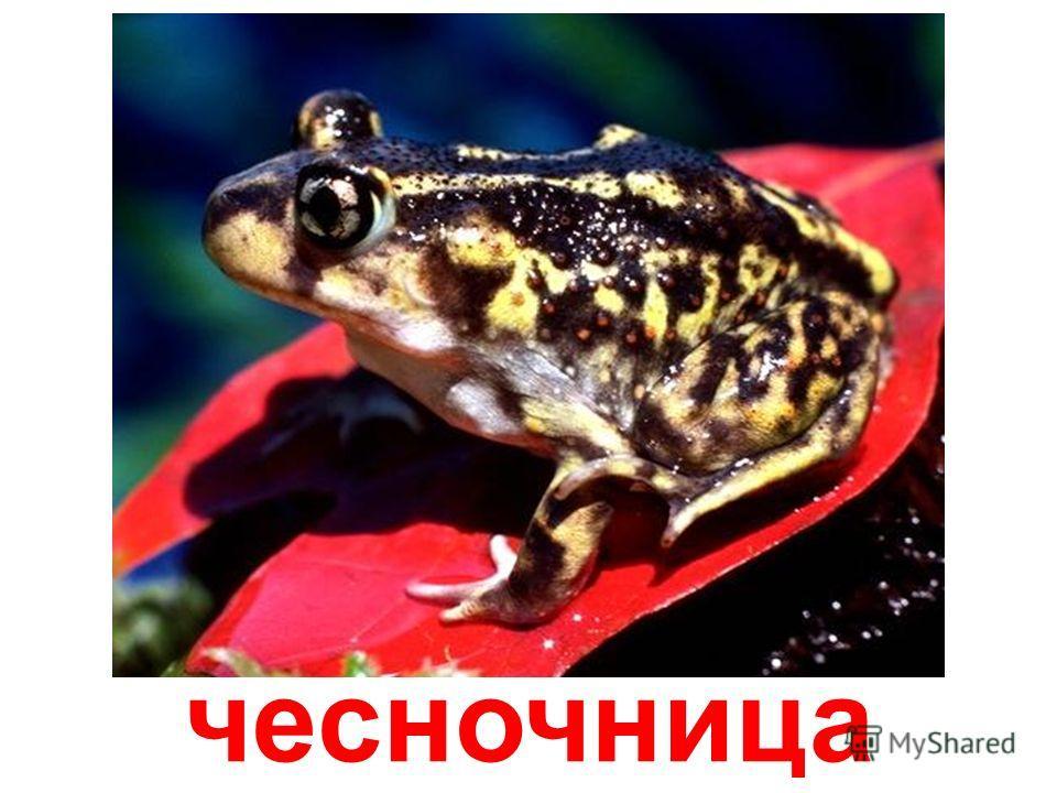 хвостатая лягушка