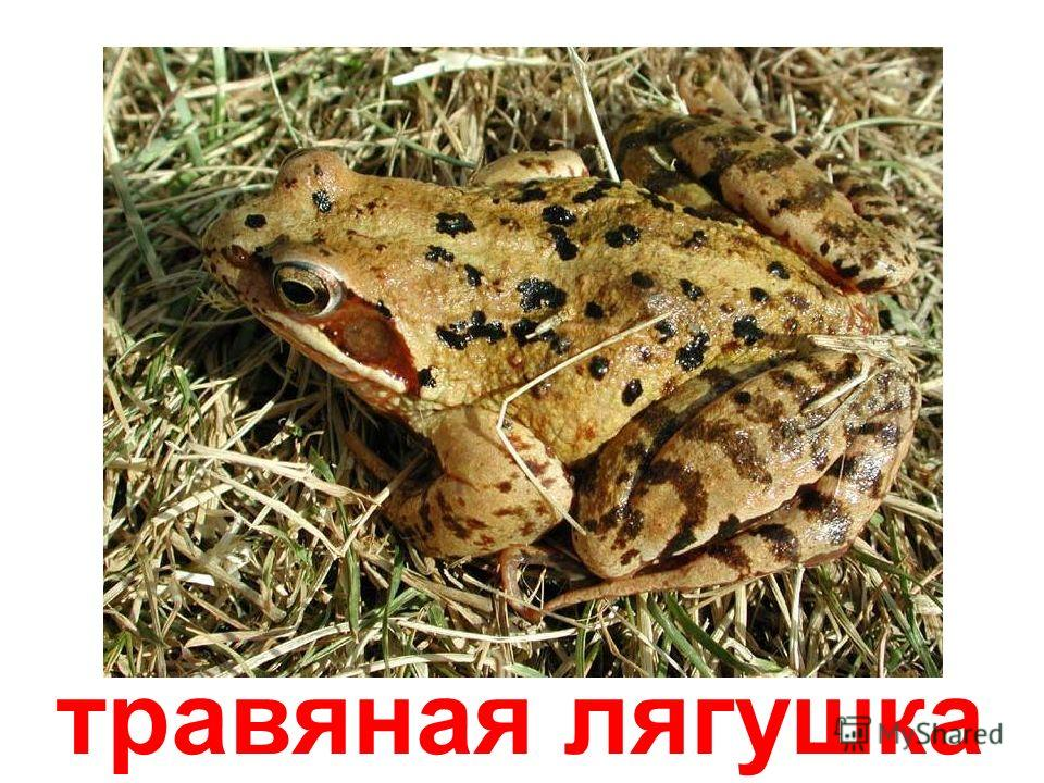 прудовая лягушка