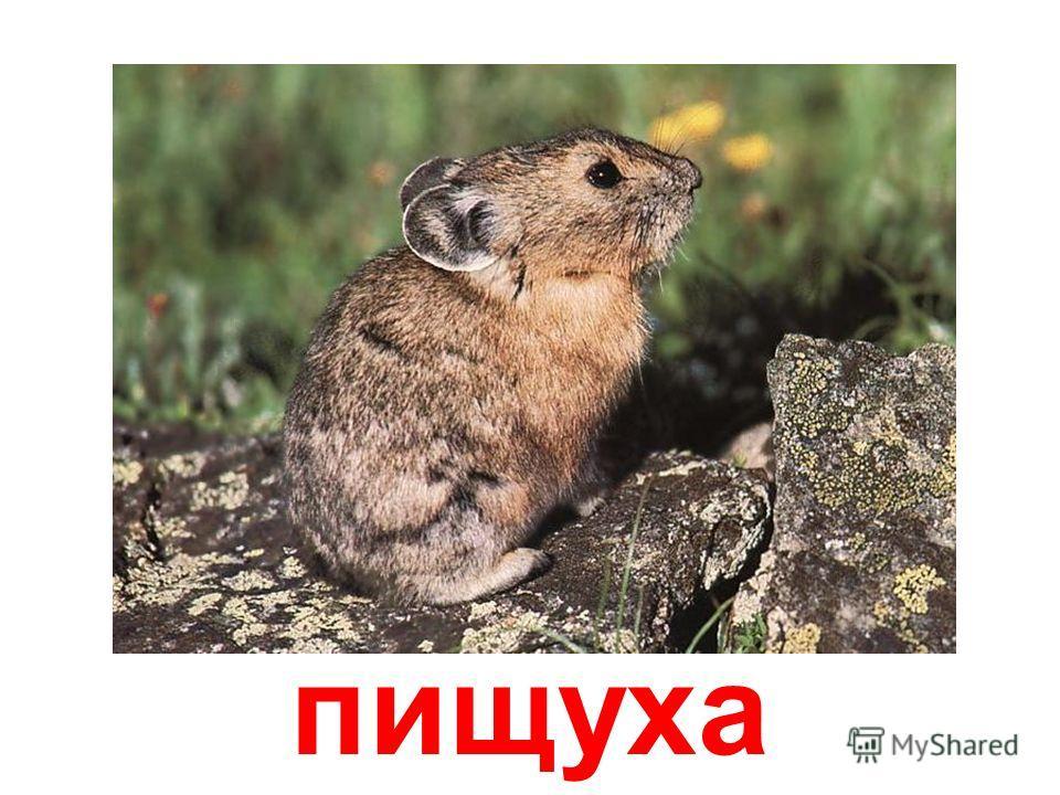 болотный кролик