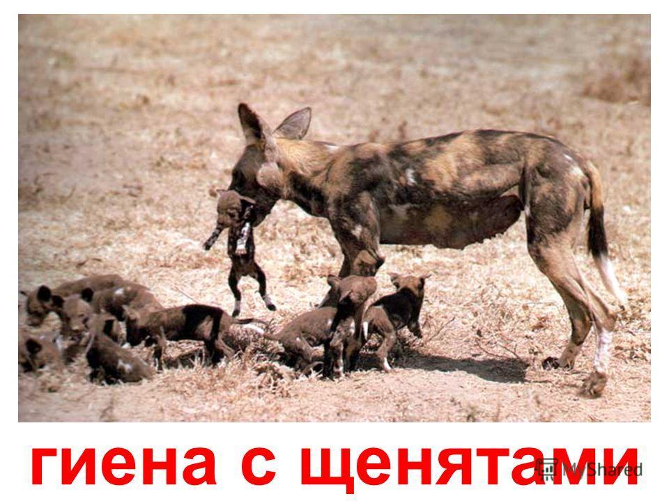 лемур с детёнышем