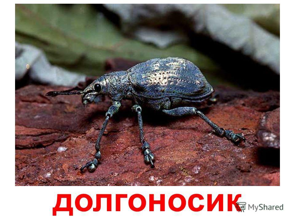 жук-узконадкрылка