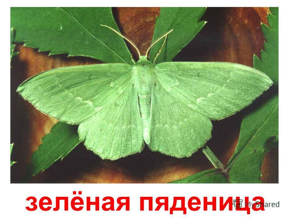 капустница