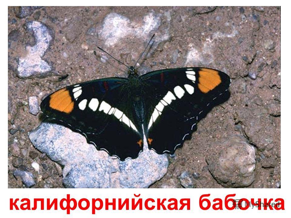 мраморная бабочка