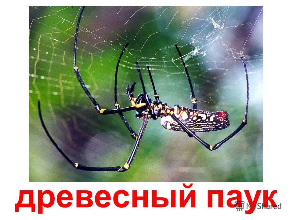 мраморный паук