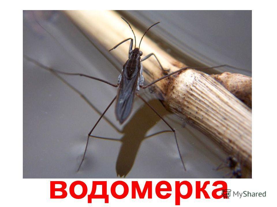 водяной паук-охотник