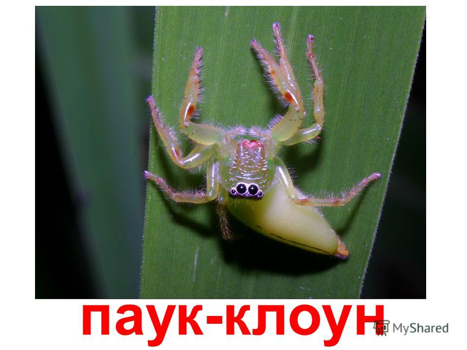 паук-скакун