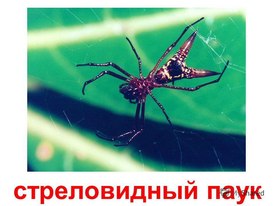 паук-нянька