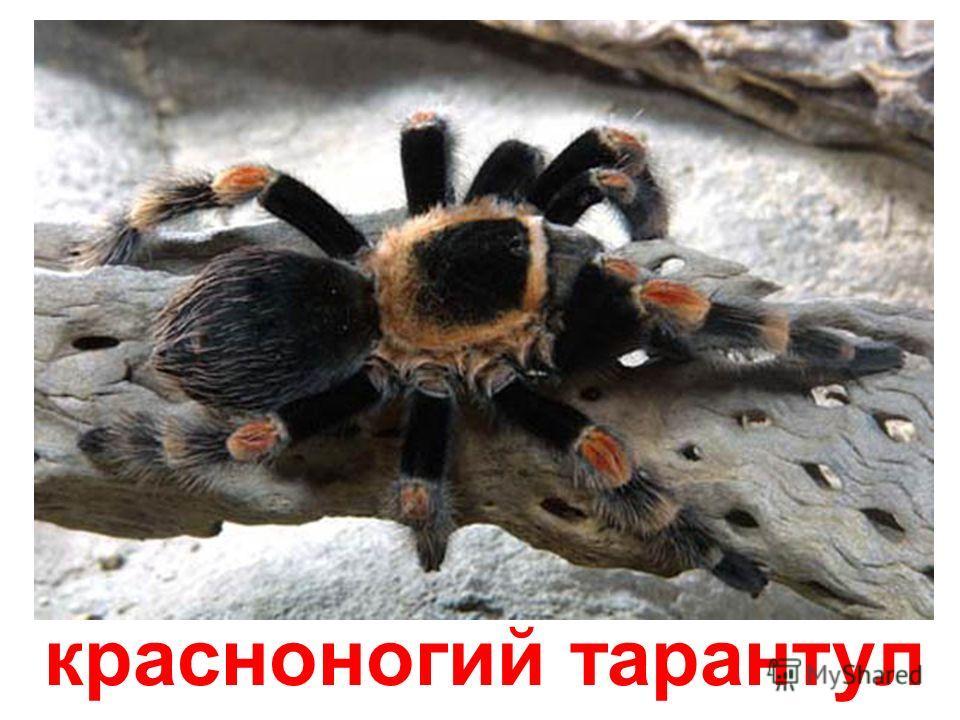 тарантул