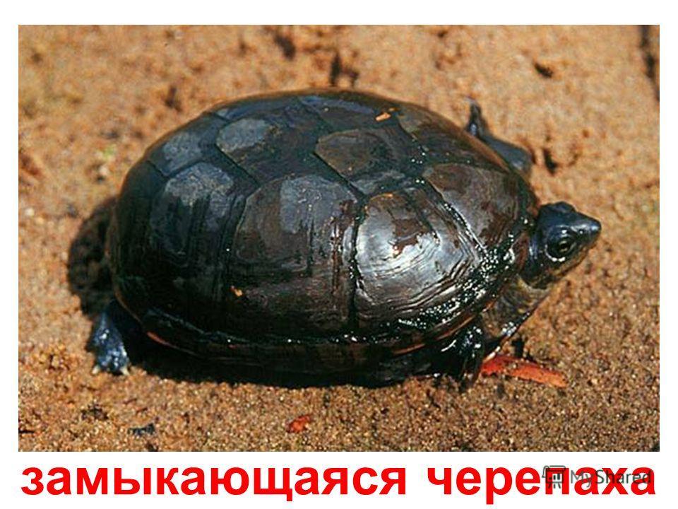 красноухая скользящая черепаха