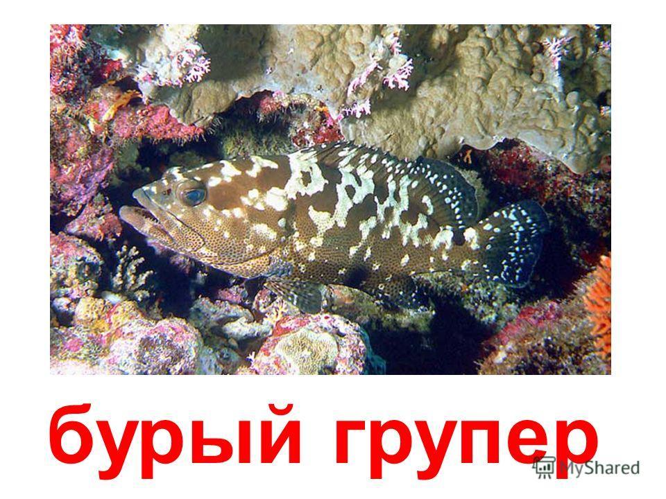 рыба-телескоп