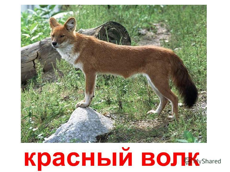 гривистые волки