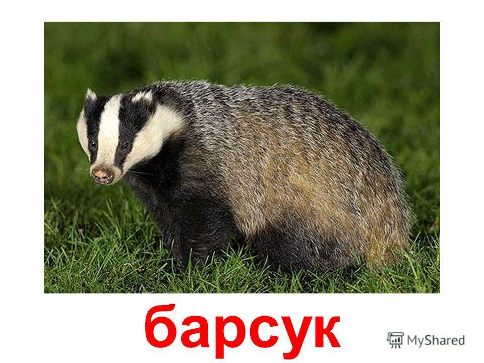 хорёк