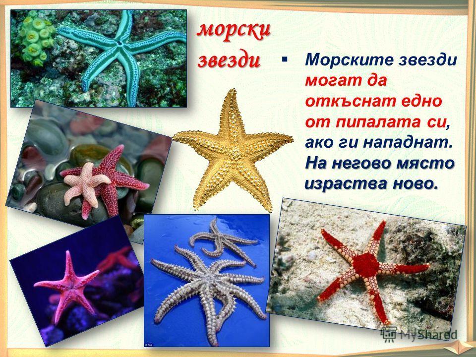 морскизвезди Морските звезди могат да откъснат едно от пипалата си, ако ги нападнат. На негово място израства ново. На негово място израства ново.