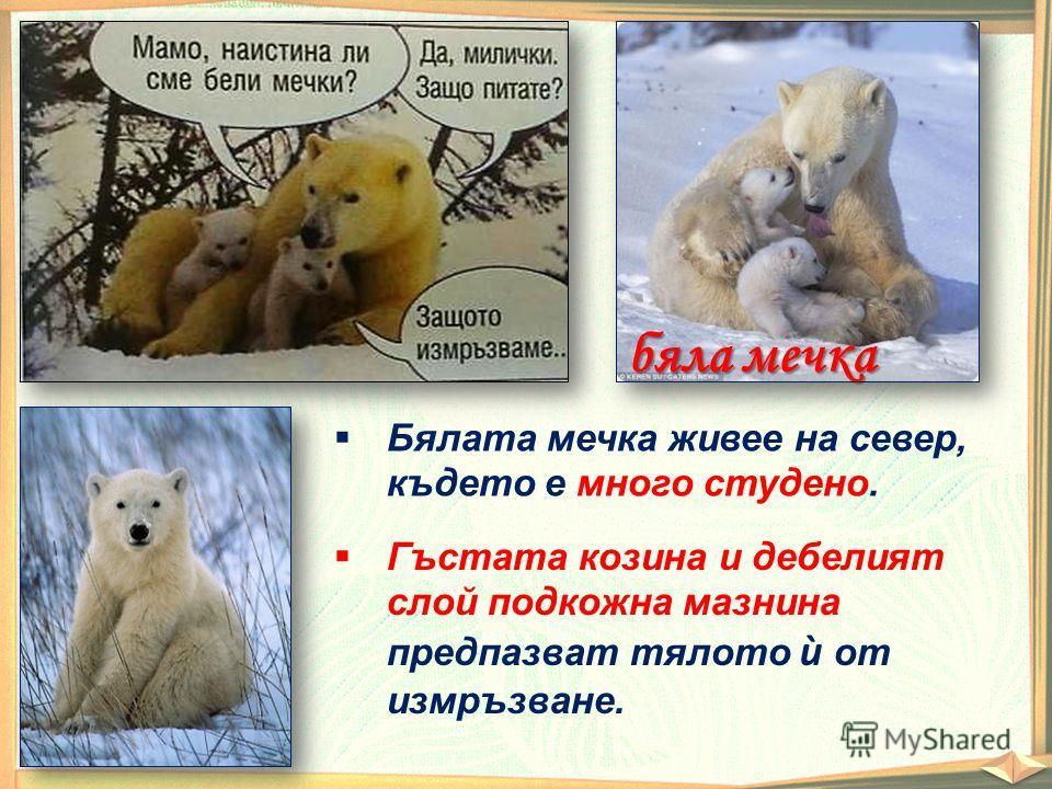 бяла мечка Бялата мечка живее на север, където е много студено. Гъстата козина и дебелият слой подкожна мазнина предпазват тялото ѝ от измръзване.