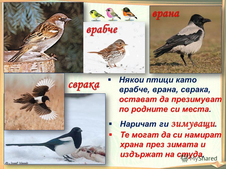 врана врабче сврака Някои птици като врабче, врана, сврака, остават да презимуват по родните си места. Наричат ги зимуващи. Те могат да си намират храна през зимата и издържат на студа.