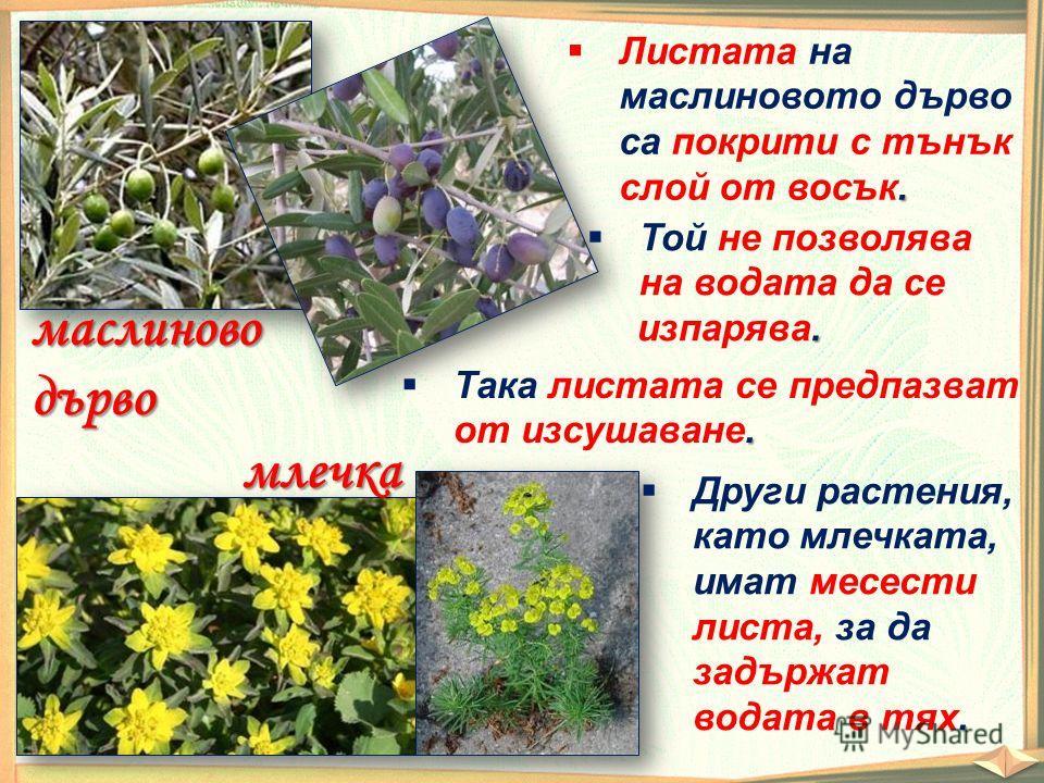 маслиноводърво. Листата на маслиновото дърво са покрити с тънък слой от восък. Той не позволява. на водата да се изпарява.. Така листата се предпазват от изсушаване. млечка. Други растения, като млечката, имат месести листа, за да задържат водата в т