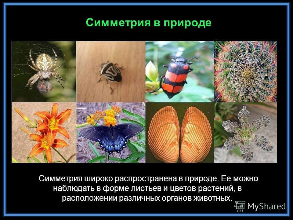 Симметрия в природе Симметрия широко распространена в природе. Ее можно наблюдать в форме листьев и цветов растений, в расположении различных органов животных.