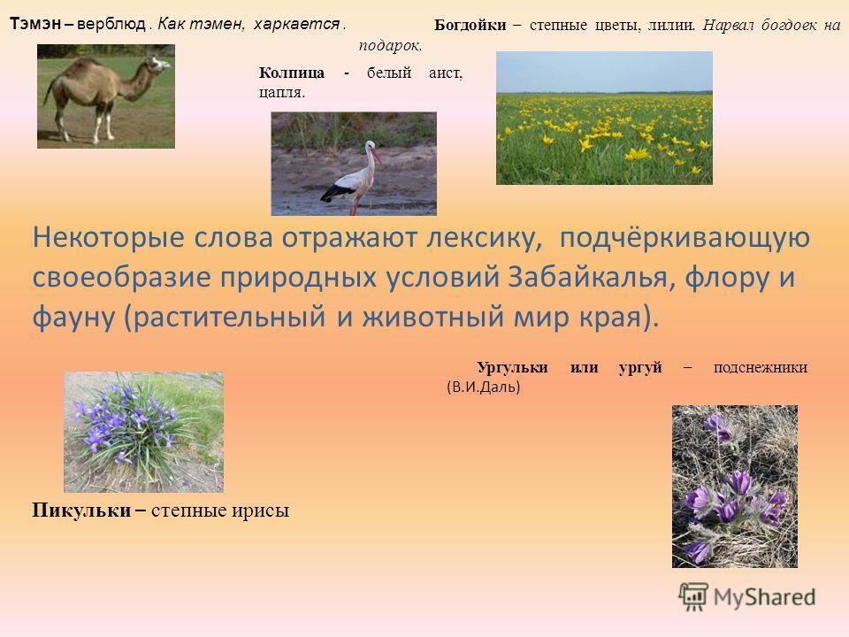 Некоторые слова отражают лексику, подчёркивающую своеобразие природных условий Забайкалья, флору и фауну (растительный и животный мир края). Богдойки – степные цветы, лилии. Нарвал богдоек на подарок. Колпица - белый аист, цапля. Пикульки – степные и