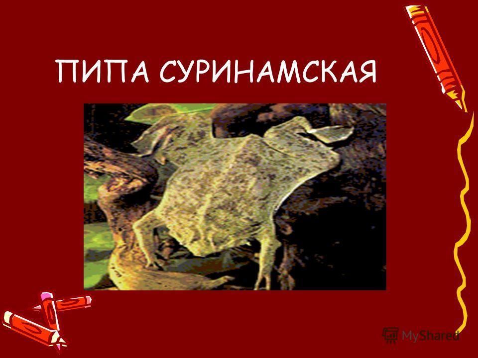 ПИПА СУРИНАМСКАЯ