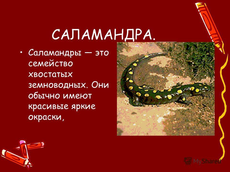 САЛАМАНДРА. Саламандры это семейство хвостатых земноводных. Они обычно имеют красивые яркие окраски,