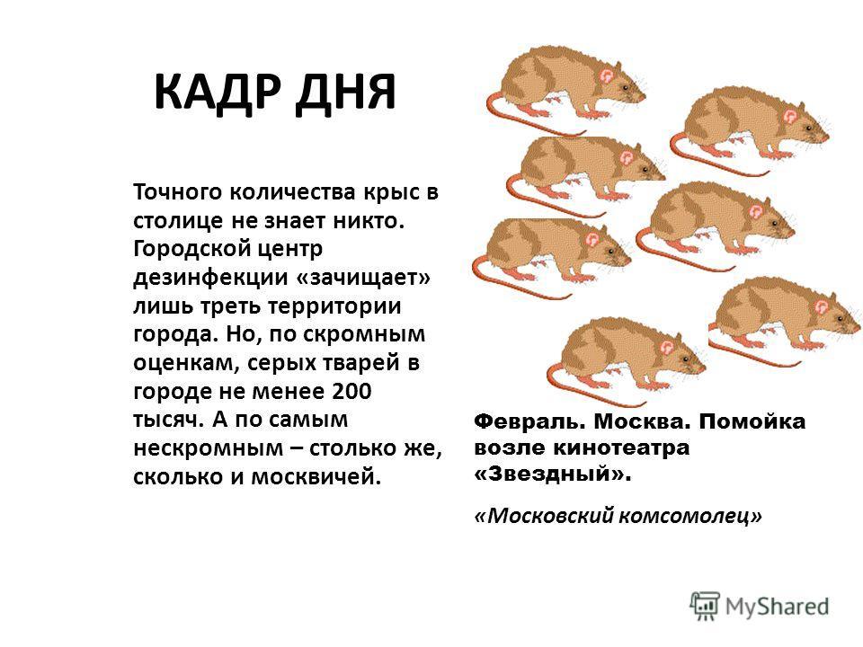 КАДР ДНЯ Точного количества крыс в столице не знает никто. Городской центр дезинфекции «зачищает» лишь треть территории города. Но, по скромным оценкам, серых тварей в городе не менее 200 тысяч. А по самым нескромным – столько же, сколько и москвичей