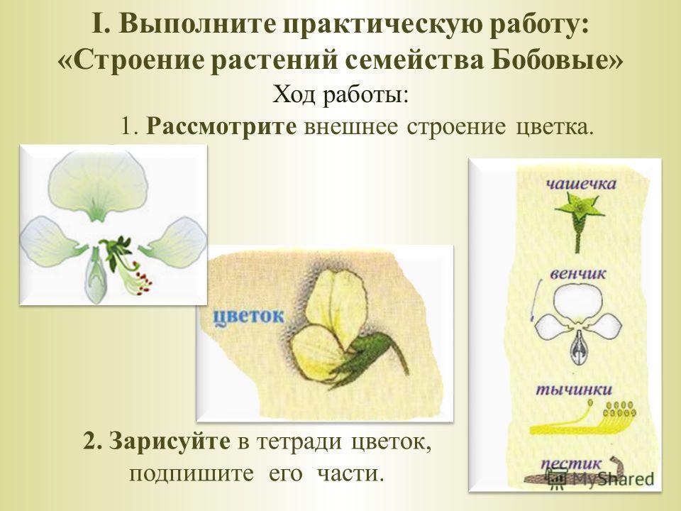 I. Выполните практическую работу: «Строение растений семейства Бобовые» Ход работы: 1. Рассмотрите внешнее строение цветка. 2. Зарисуйте в тетради цветок, подпишите его части.