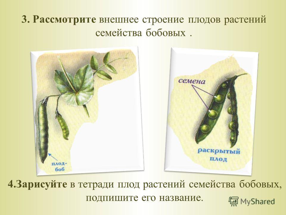 3. Рассмотрите внешнее строение плодов растений семейства бобовых. 4.Зарисуйте в тетради плод растений семейства бобовых, подпишите его название.