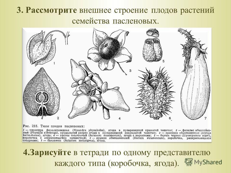 3. Рассмотрите внешнее строение плодов растений семейства пасленовых. 4.Зарисуйте в тетради по одному представителю каждого типа (коробочка, ягода).