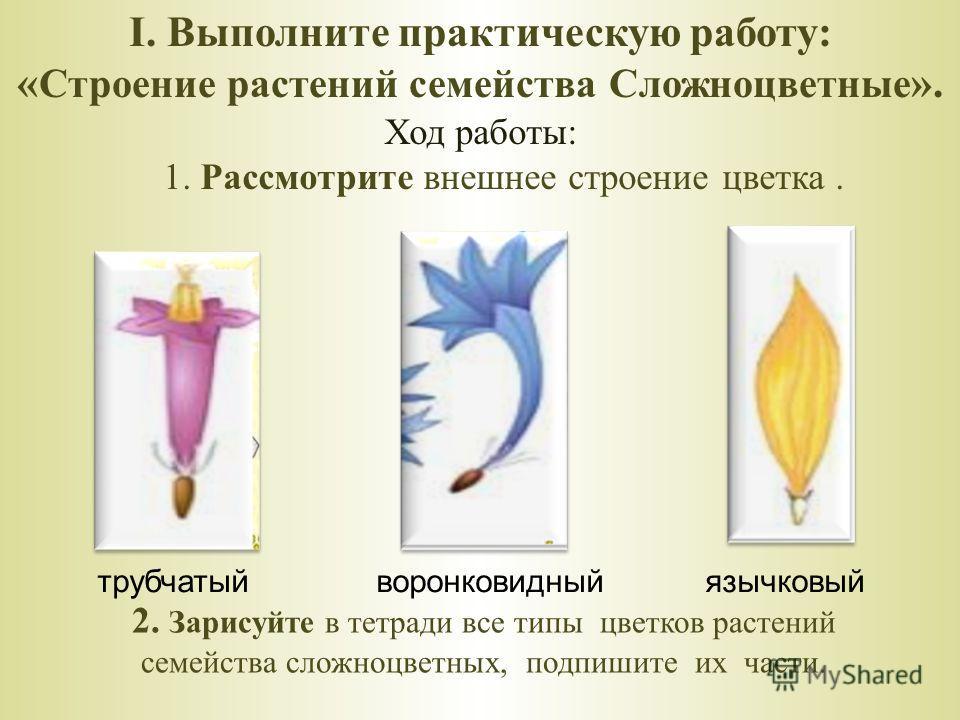 I. Выполните практическую работу: « Строение растений семейства Сложноцветные ». Ход работы: 1. Рассмотрите внешнее строение цветка. 2. Зарисуйте в тетради все типы цветков растений семейства сложноцветных, подпишите их части. трубчатый воронковидный
